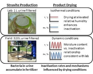 Bacteria Inactivation during the Drying of Struvite Fertilizers Produced from Stored Urine